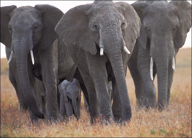 elephant-picture
