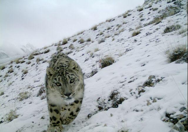 snow leapord
